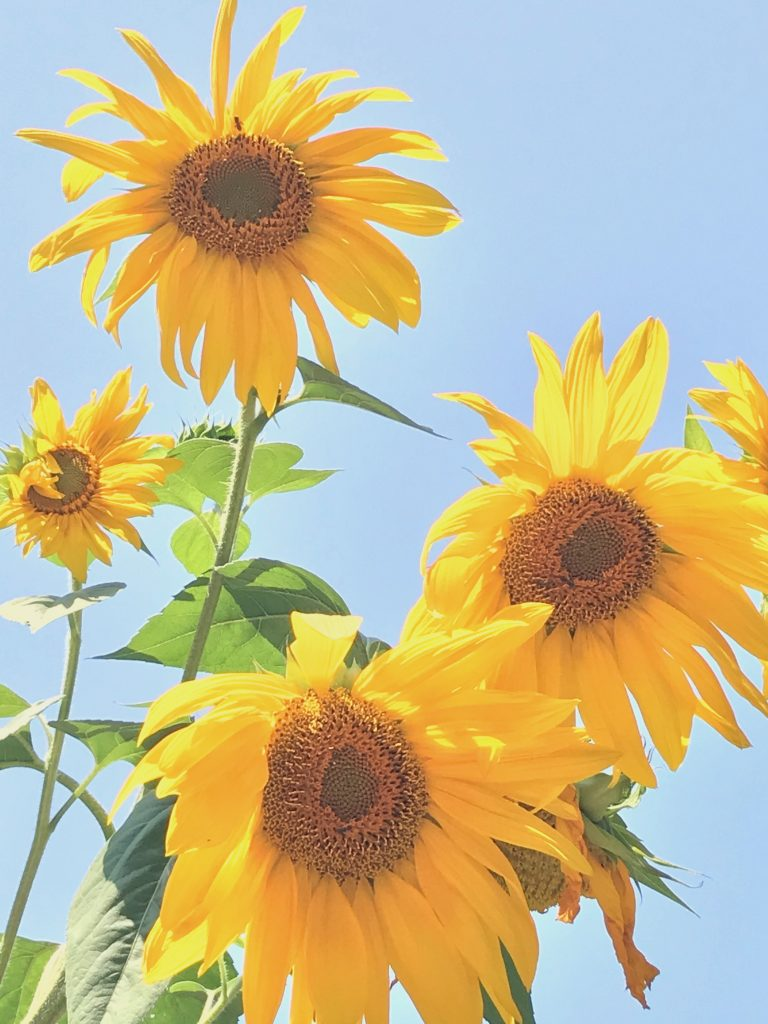 Sunflowers in Sonoma